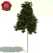 Platanus x acerifolia (Bloodgood) 3d model