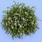 Itea virginica (Henrys Garnet) 3d model