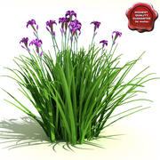 Iris ensata (Iris japonais) 3d model