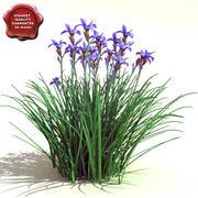 Iris sibirica(西伯利亚虹膜) 3d model