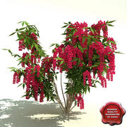 Pieris japonica (Valley Valentine) 3d model