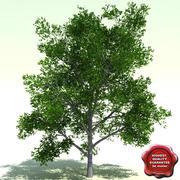 Quercus Palustris (Pin Oak) 3d model