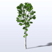 Birch_1.mb 3d model