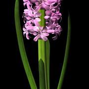 Hyacinth maya 3d model