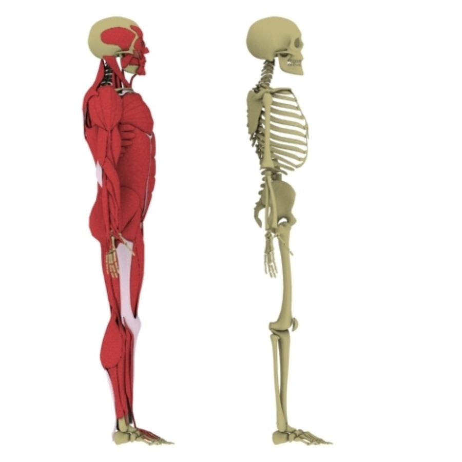 Human Anatomy royalty-free 3d model - Preview no. 5