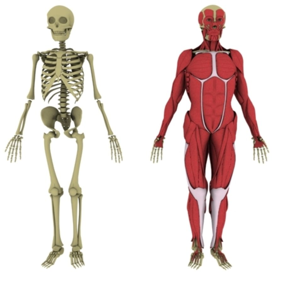 Human Anatomy royalty-free 3d model - Preview no. 1