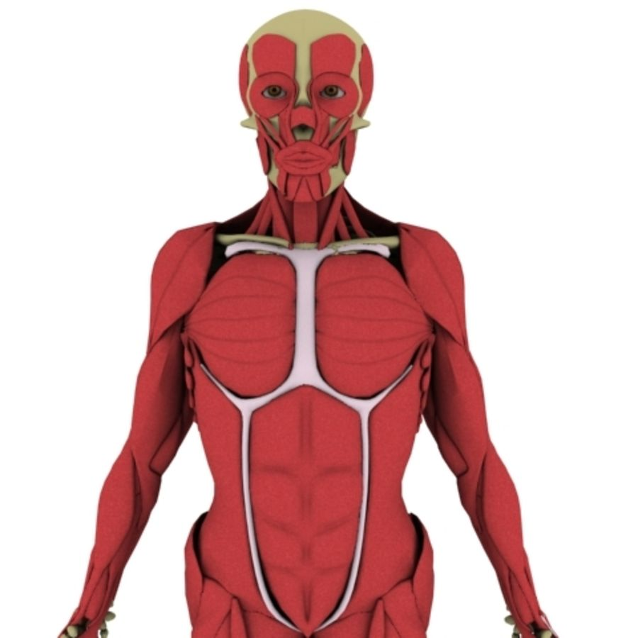 Human Anatomy royalty-free 3d model - Preview no. 4
