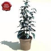 Ficus benjamina Starlight 3d model