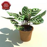Calathea makoyana (Peacock Plant) 3d model