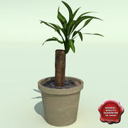 Dracaena Massangeana 3d model