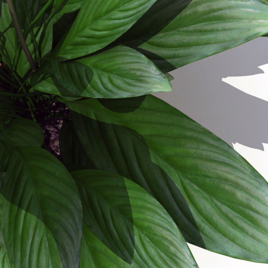 Spathiphyllum Petite royalty-free 3d model - Preview no. 9