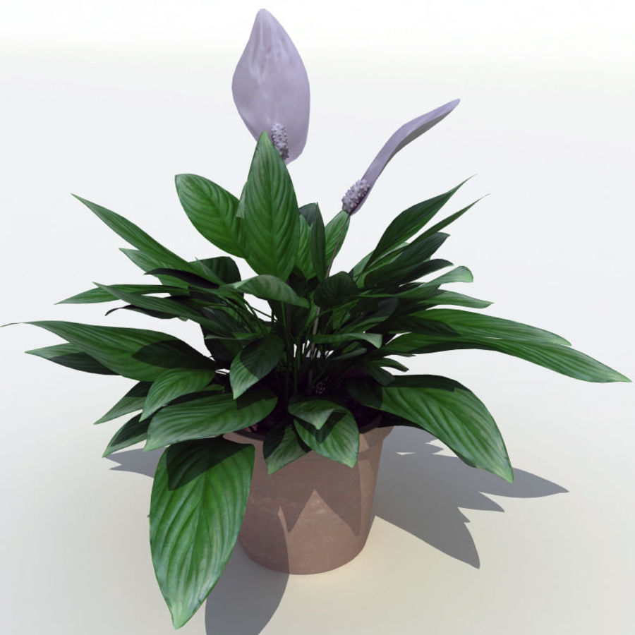 Spathiphyllum Petite royalty-free 3d model - Preview no. 6