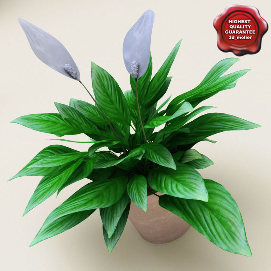 Spathiphyllum Petite royalty-free 3d model - Preview no. 1