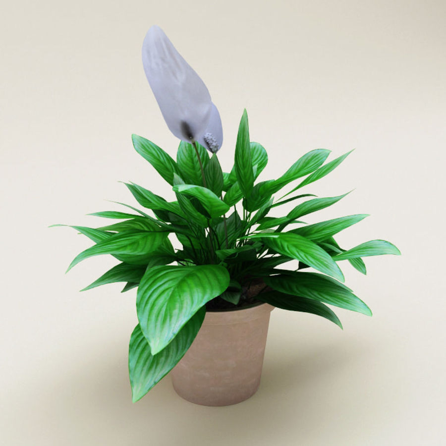 Spathiphyllum Petite royalty-free 3d model - Preview no. 3