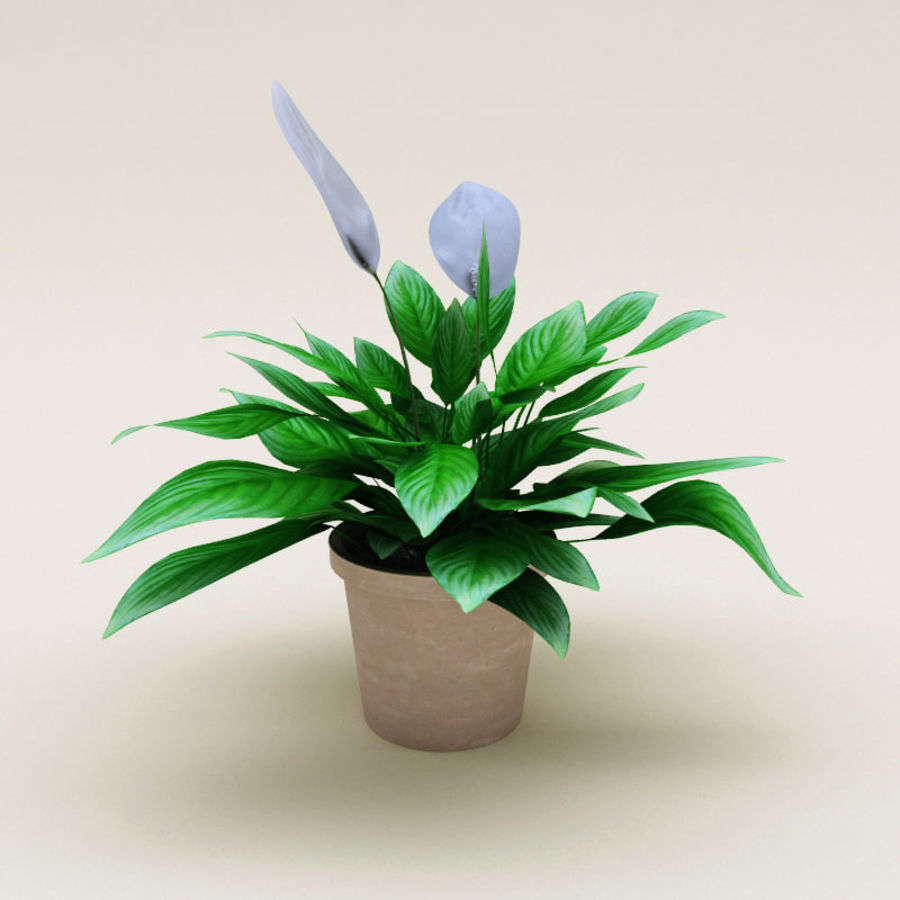 Spathiphyllum Petite royalty-free 3d model - Preview no. 2