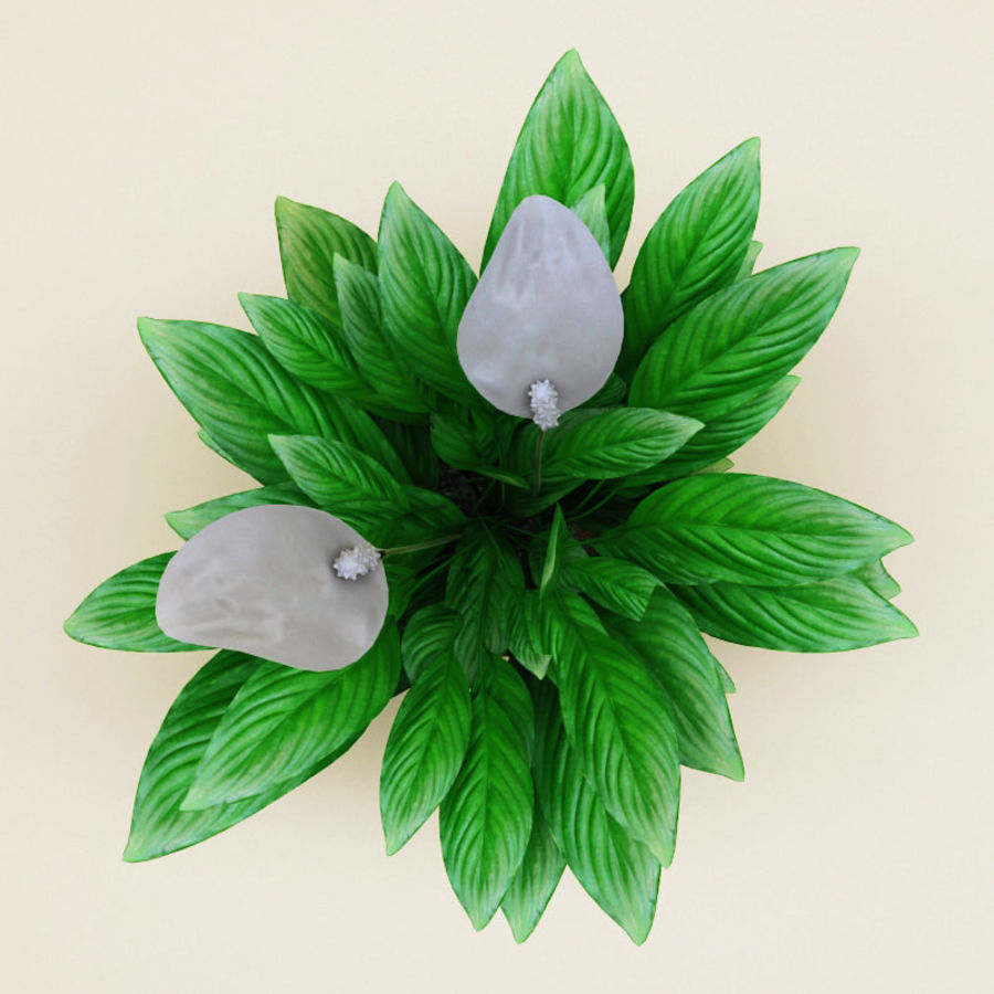 Spathiphyllum Petite royalty-free 3d model - Preview no. 4