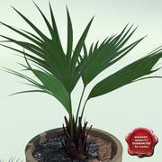 Trachycarpus fortunei 3d model