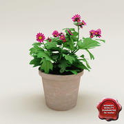 Primula sinensis 3d model