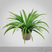 Chlorophytum Plant in Pot 3d model