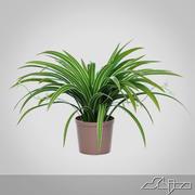 Chlorophytum-Pflanze im Topf 3d model