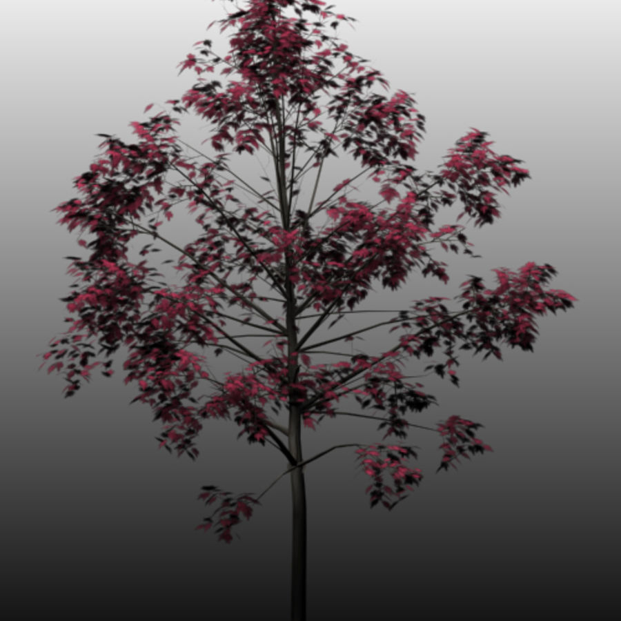 Red Maple royalty-free 3d model - Preview no. 6