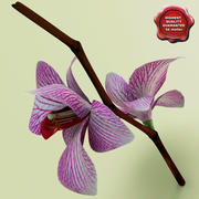 Phalaenopsis orchid 3d model
