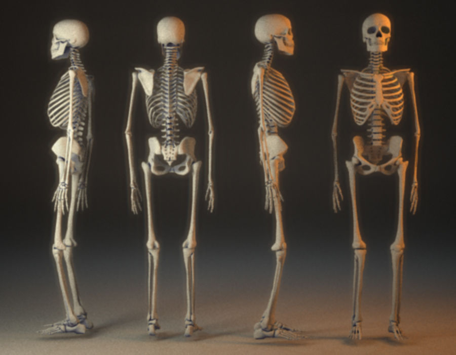 human skeleton royalty-free 3d model - Preview no. 3