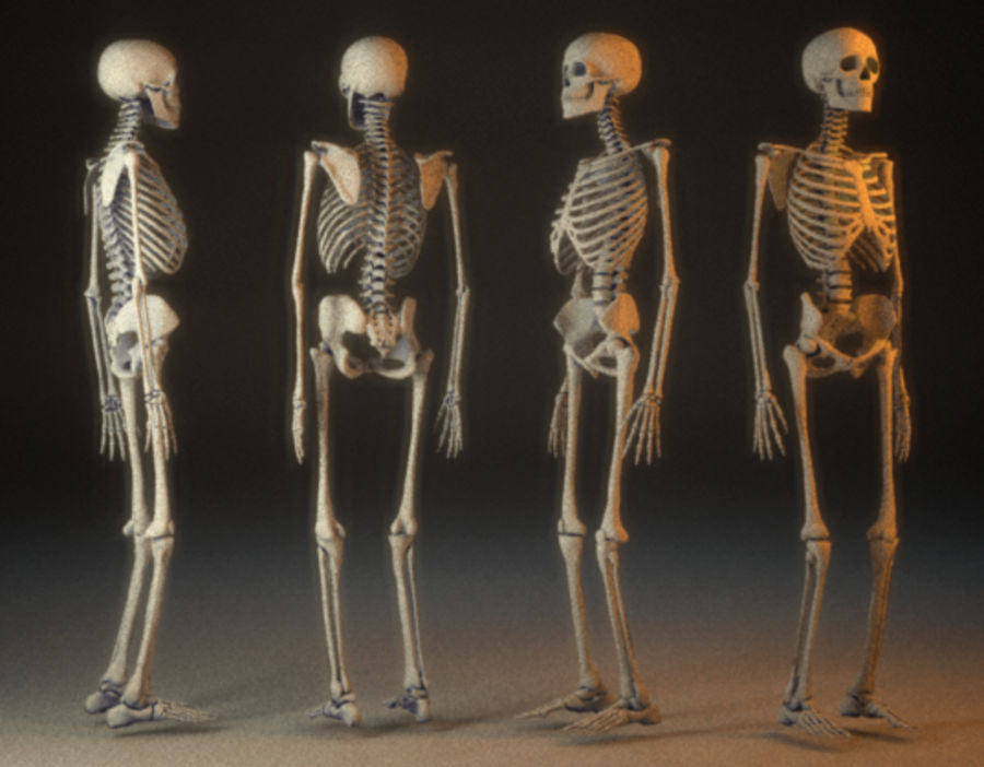human skeleton royalty-free 3d model - Preview no. 2