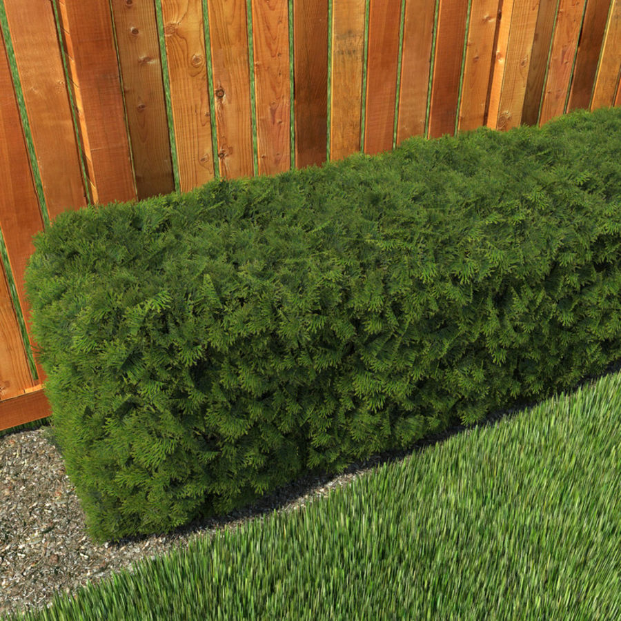 Plant Cedar Hedge royalty-free 3d model - Preview no. 2