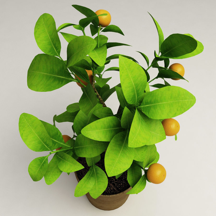 Decorative citrus tree Calamondin royalty-free 3d model - Preview no. 8