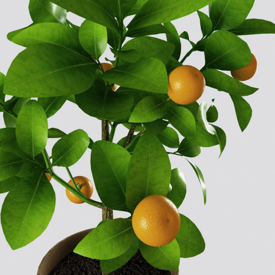Decorative citrus tree Calamondin royalty-free 3d model - Preview no. 6