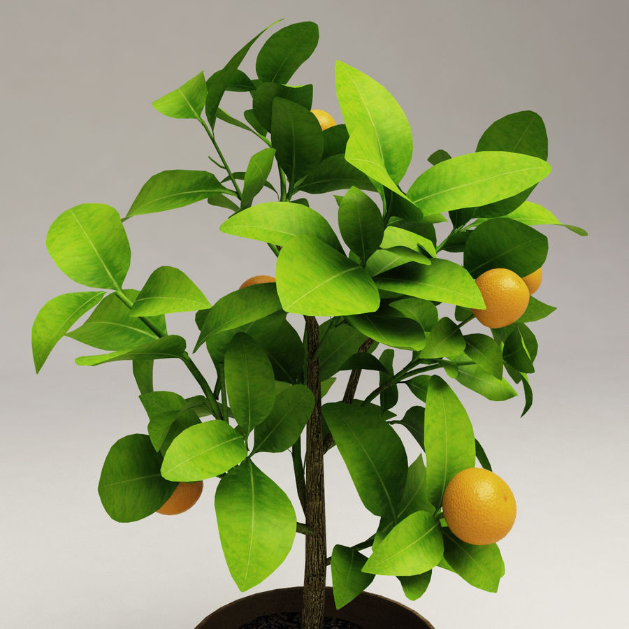 Decorative citrus tree Calamondin royalty-free 3d model - Preview no. 3