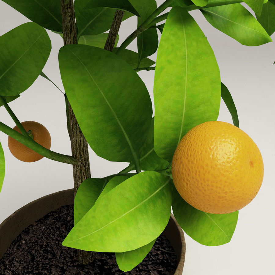 Decorative citrus tree Calamondin royalty-free 3d model - Preview no. 7