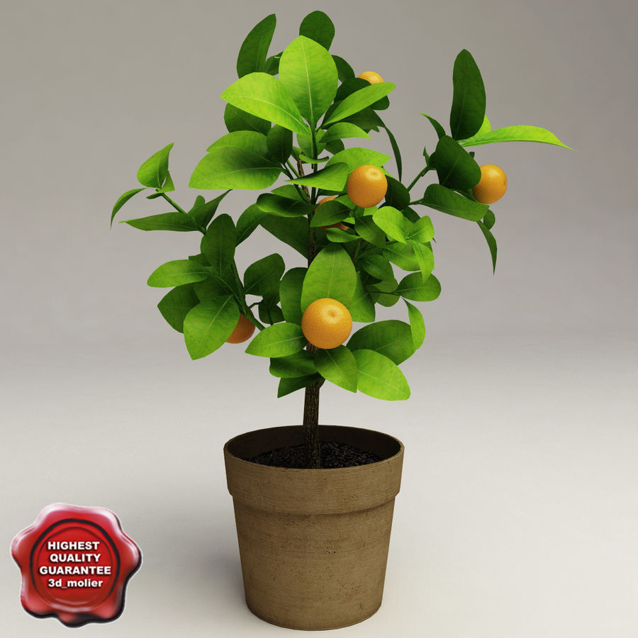 Decorative citrus tree Calamondin royalty-free 3d model - Preview no. 1