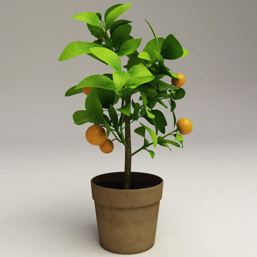 Decorative citrus tree Calamondin royalty-free 3d model - Preview no. 2
