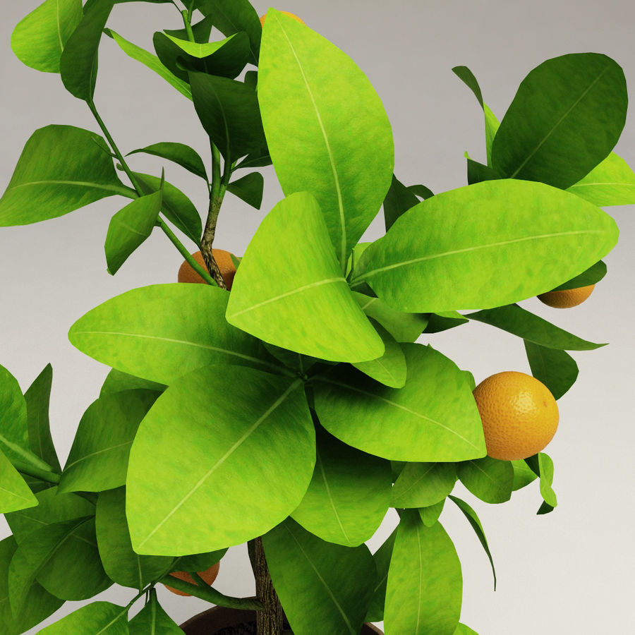 Decorative citrus tree Calamondin royalty-free 3d model - Preview no. 5