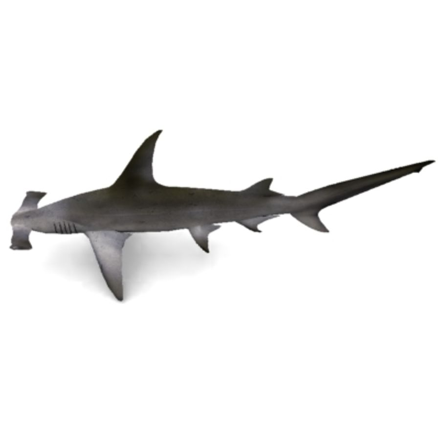 hammerhead shark royalty-free 3d model - Preview no. 2