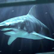 Requin blanc 3d model