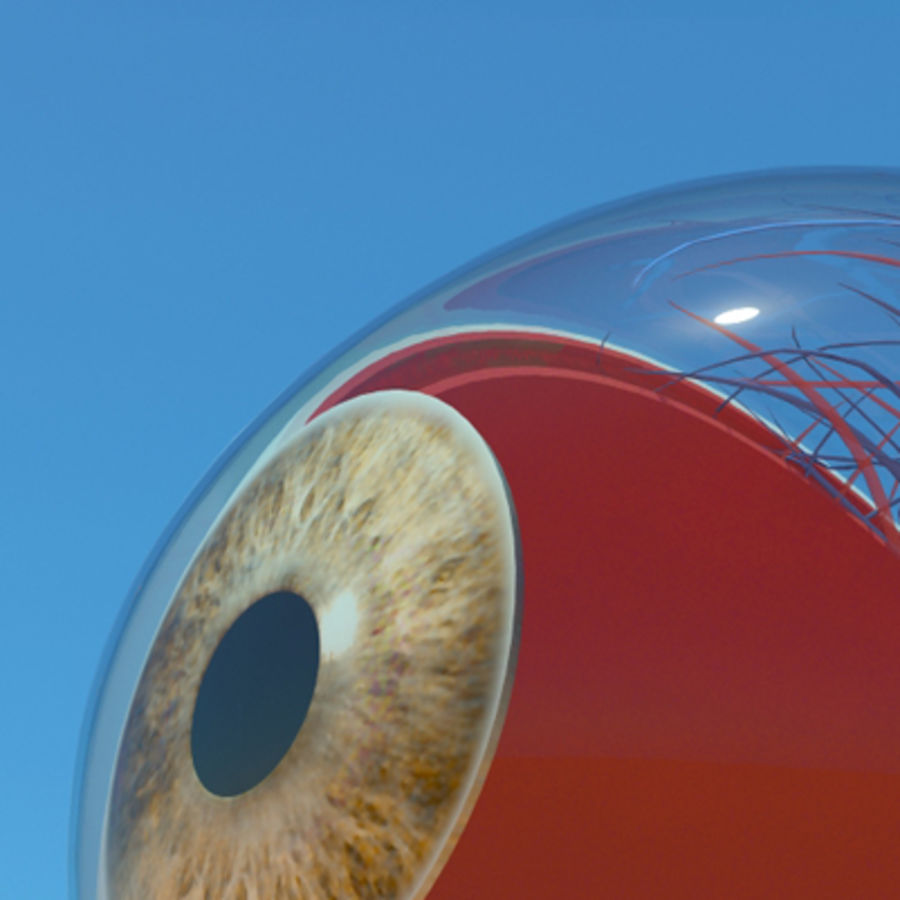 Anatomy eye 3D Model $29 - .oth .obj .max - Free3D
