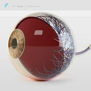 anatomy eye 3d model