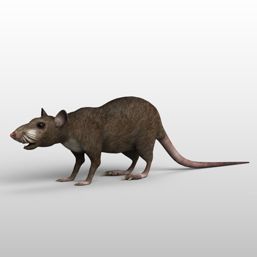 Rat royalty-free 3d model - Preview no. 3