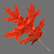 car色のオークの葉の赤 3d model