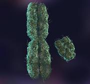x y chromosome 3d model