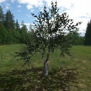 Huş ağacı # 5 3d model