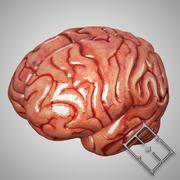 Mänsklig hjärna 3d model