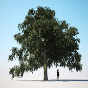 HQ植被 - 菩提树 3d model