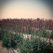 HQ Vegetation - Lavender 3d model