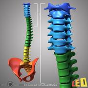 ヒト椎骨+骨盤 3d model