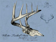 White Tailed Deer Skull & Antlers 3d model