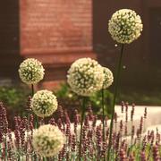 HQ-Vegetation - Tall Round Flowers 3d model